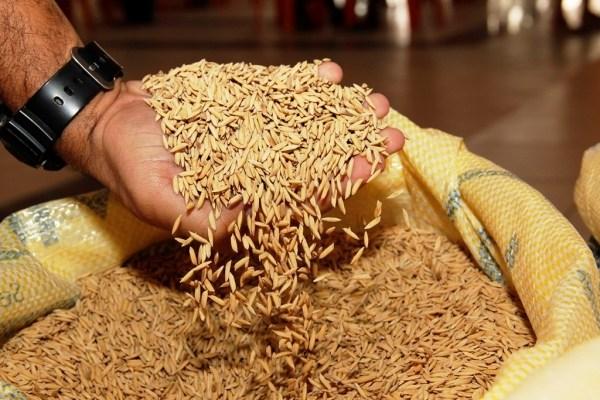RS desperdiça 425 mil toneladas de arroz por safra