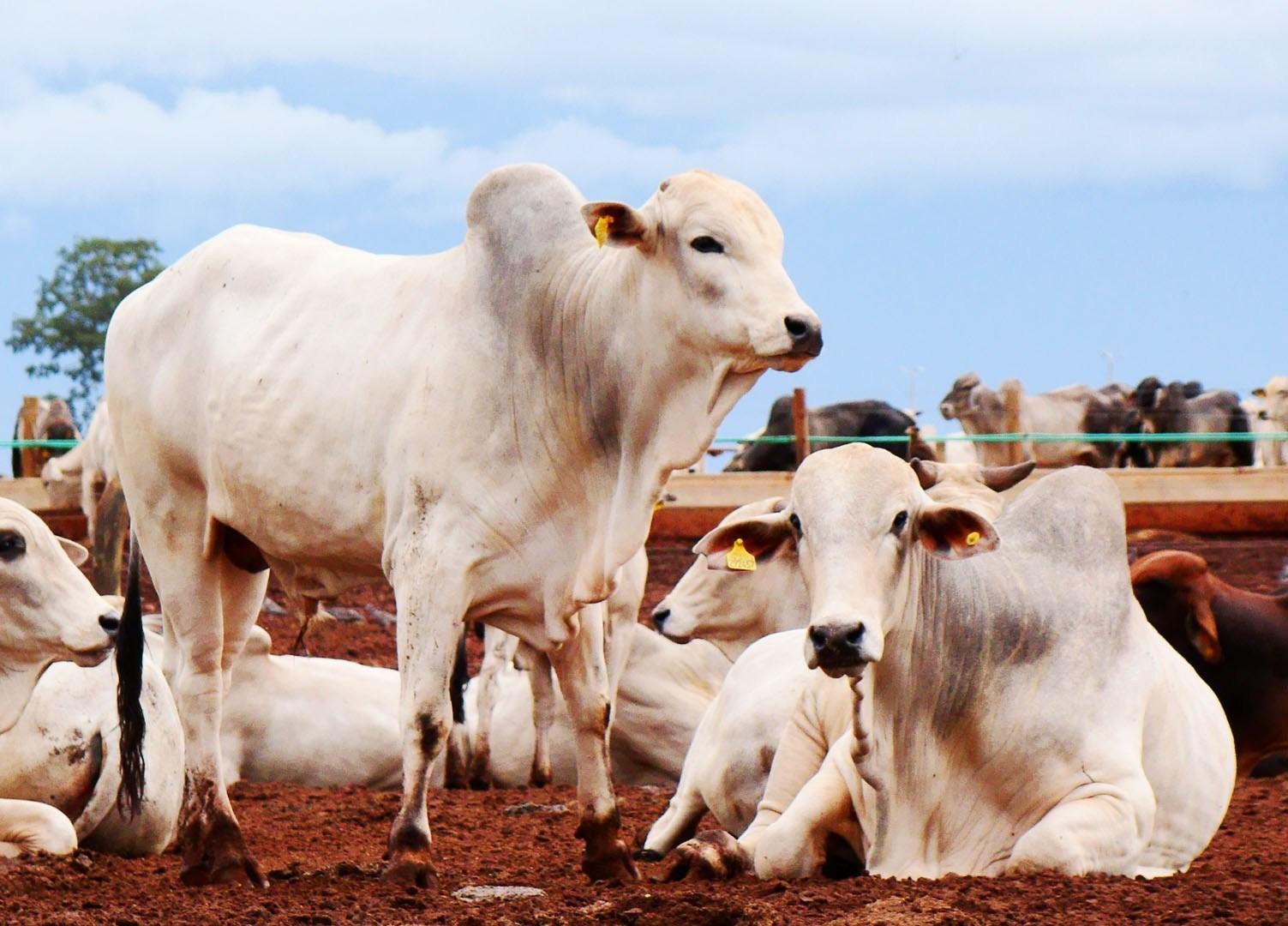 Redução nos abates evita maior queda no preço do boi