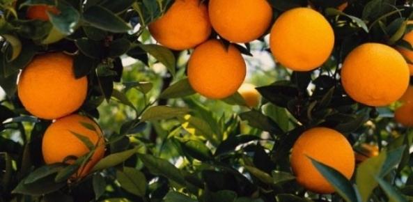 Preço da laranja é recorde em janeiro