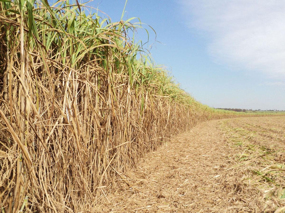 Pesquisadores identificam gene que pode aumentar eficiência na produção de etanol